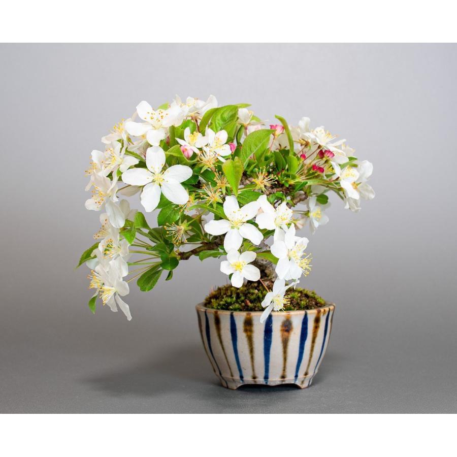 盆栽 ズミ盆栽 酢実(ずみ・酢実盆栽)小さな盆栽 4076|e-bonsai|03