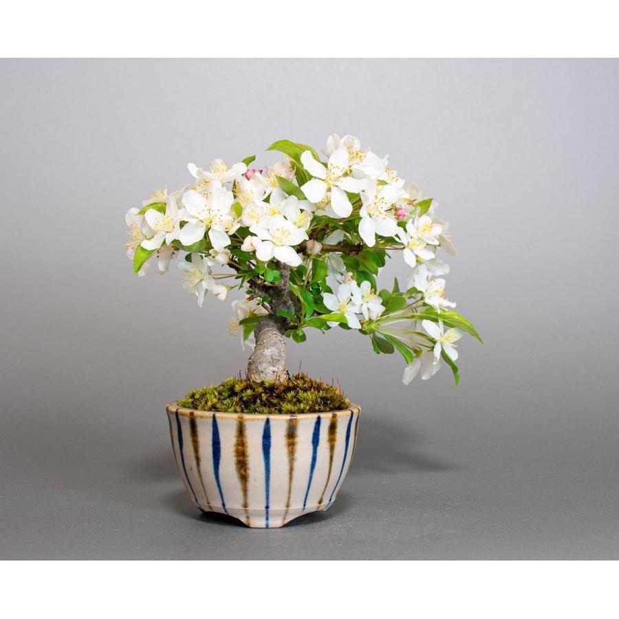 盆栽 ズミ盆栽 酢実(ずみ・酢実盆栽)小さな盆栽 4076|e-bonsai|04