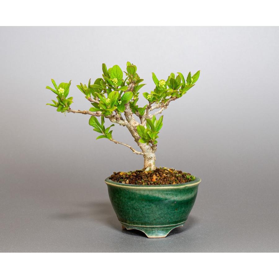 ミニ盆栽 サワフタギ盆栽 沢蓋木(さわふたぎ・ミニ盆栽 沢蓋木) 小さな盆栽 4079 e-bonsai