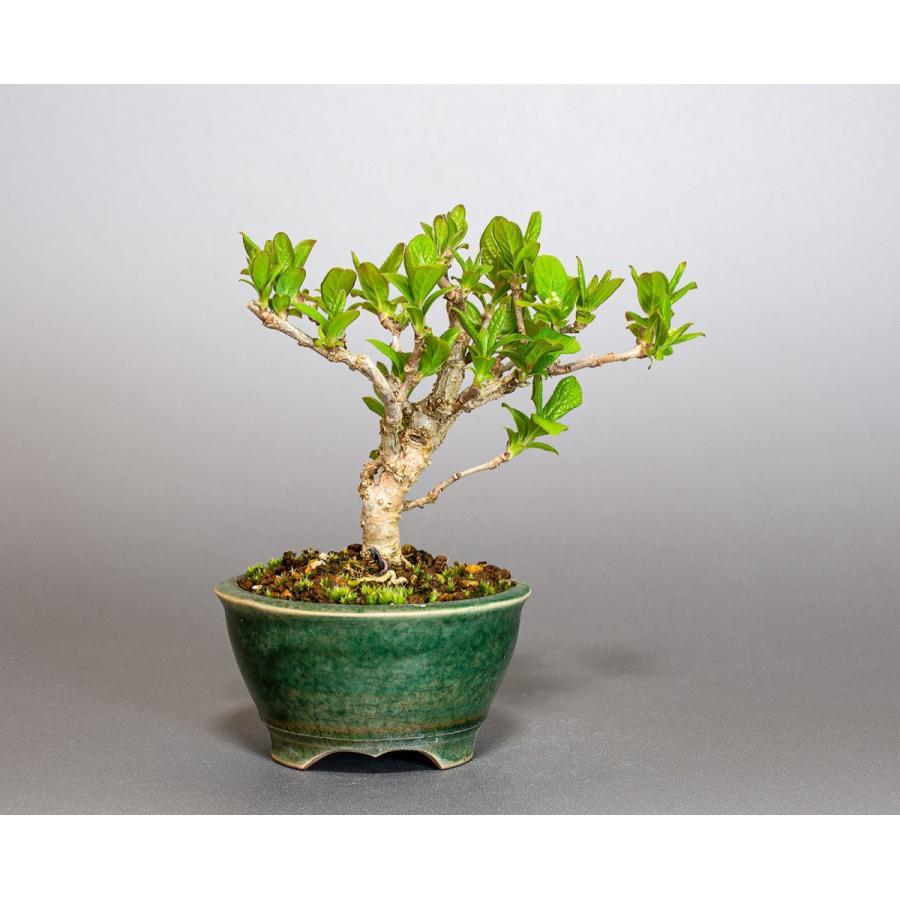 ミニ盆栽 サワフタギ盆栽 沢蓋木(さわふたぎ・ミニ盆栽 沢蓋木) 小さな盆栽 4079 e-bonsai 02