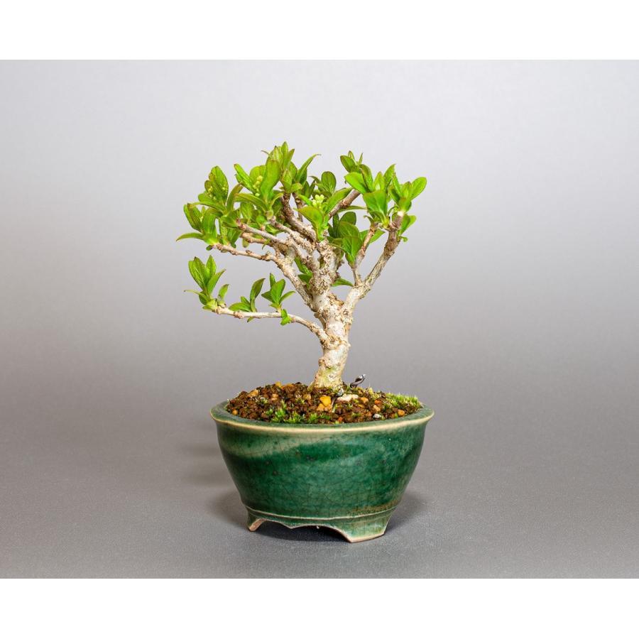 ミニ盆栽 サワフタギ盆栽 沢蓋木(さわふたぎ・ミニ盆栽 沢蓋木) 小さな盆栽 4079 e-bonsai 03
