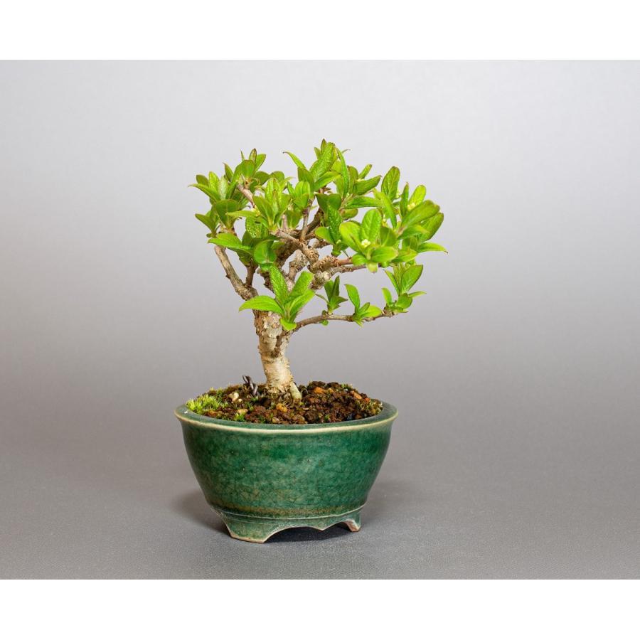 ミニ盆栽 サワフタギ盆栽 沢蓋木(さわふたぎ・ミニ盆栽 沢蓋木) 小さな盆栽 4079 e-bonsai 04