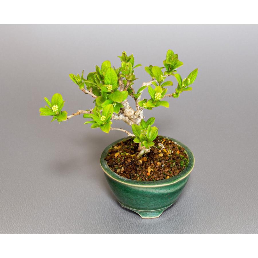 ミニ盆栽 サワフタギ盆栽 沢蓋木(さわふたぎ・ミニ盆栽 沢蓋木) 小さな盆栽 4079 e-bonsai 05