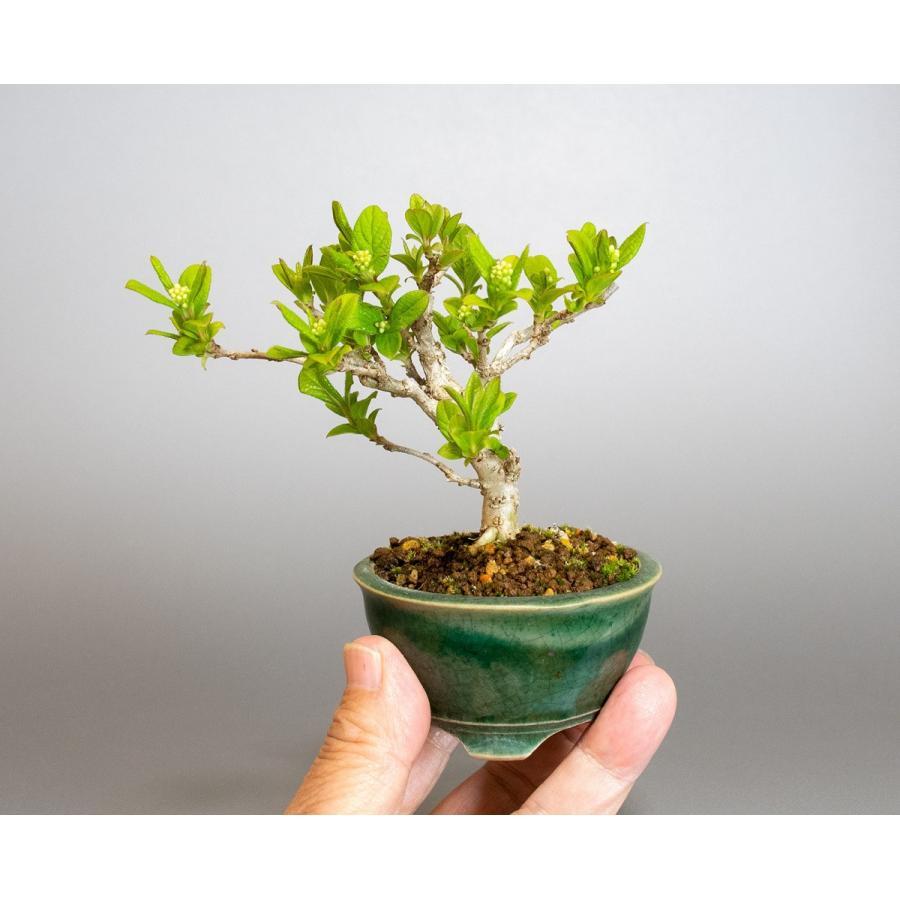 ミニ盆栽 サワフタギ盆栽 沢蓋木(さわふたぎ・ミニ盆栽 沢蓋木) 小さな盆栽 4079 e-bonsai 06