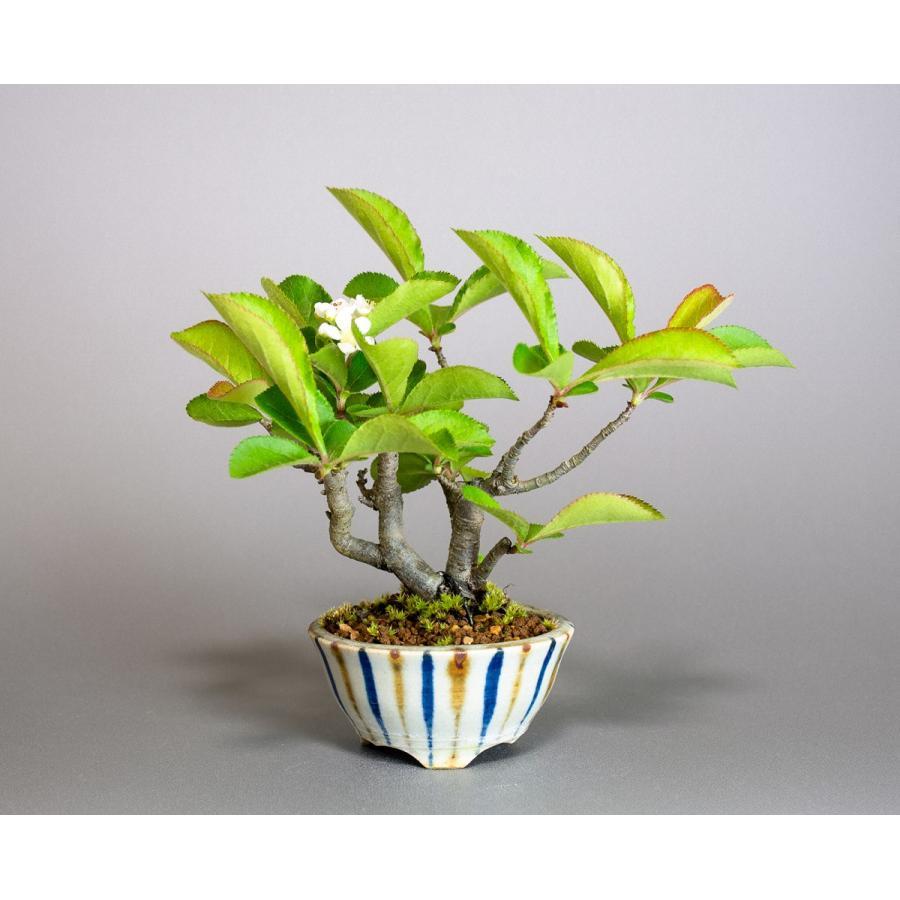 盆栽 カマツカ盆栽 鎌柄(かまつか・ミニ盆栽 日本鎌柄)4093|e-bonsai