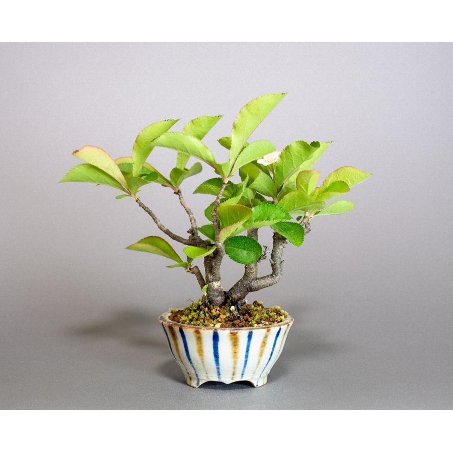 盆栽 カマツカ盆栽 鎌柄(かまつか・ミニ盆栽 日本鎌柄)4093|e-bonsai|02
