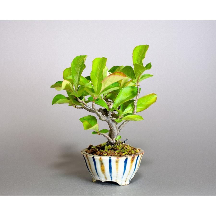 盆栽 カマツカ盆栽 鎌柄(かまつか・ミニ盆栽 日本鎌柄)4093|e-bonsai|03