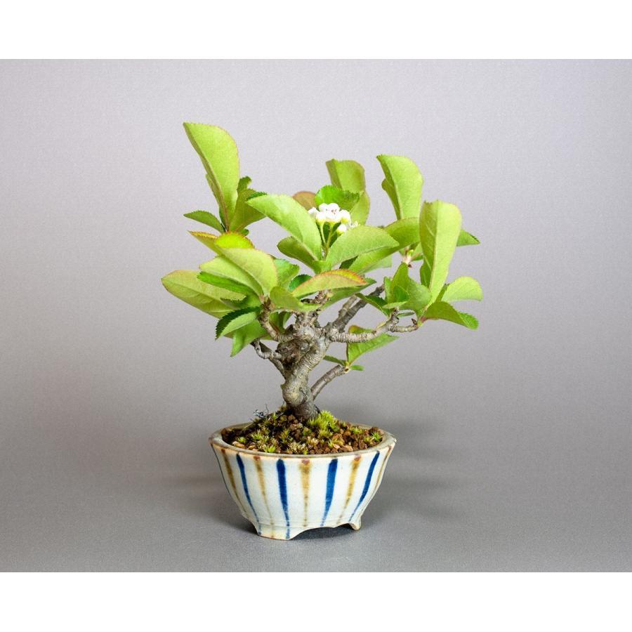盆栽 カマツカ盆栽 鎌柄(かまつか・ミニ盆栽 日本鎌柄)4093|e-bonsai|04