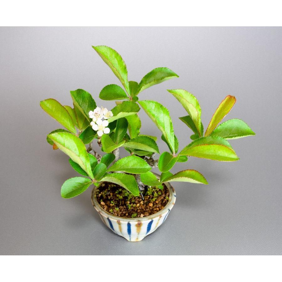 盆栽 カマツカ盆栽 鎌柄(かまつか・ミニ盆栽 日本鎌柄)4093|e-bonsai|05