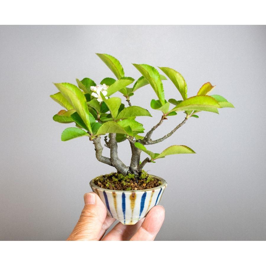 盆栽 カマツカ盆栽 鎌柄(かまつか・ミニ盆栽 日本鎌柄)4093|e-bonsai|06