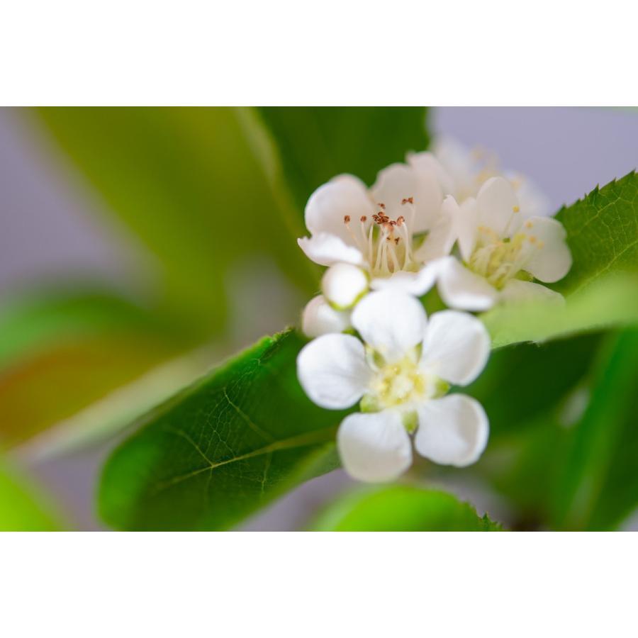 盆栽 カマツカ盆栽 鎌柄(かまつか・ミニ盆栽 日本鎌柄)4093|e-bonsai|07