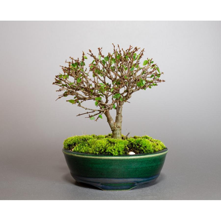 盆栽 ケヤキ盆栽 欅(けやき・ミニ盆栽 箒立ち欅)小品盆栽 4095|e-bonsai
