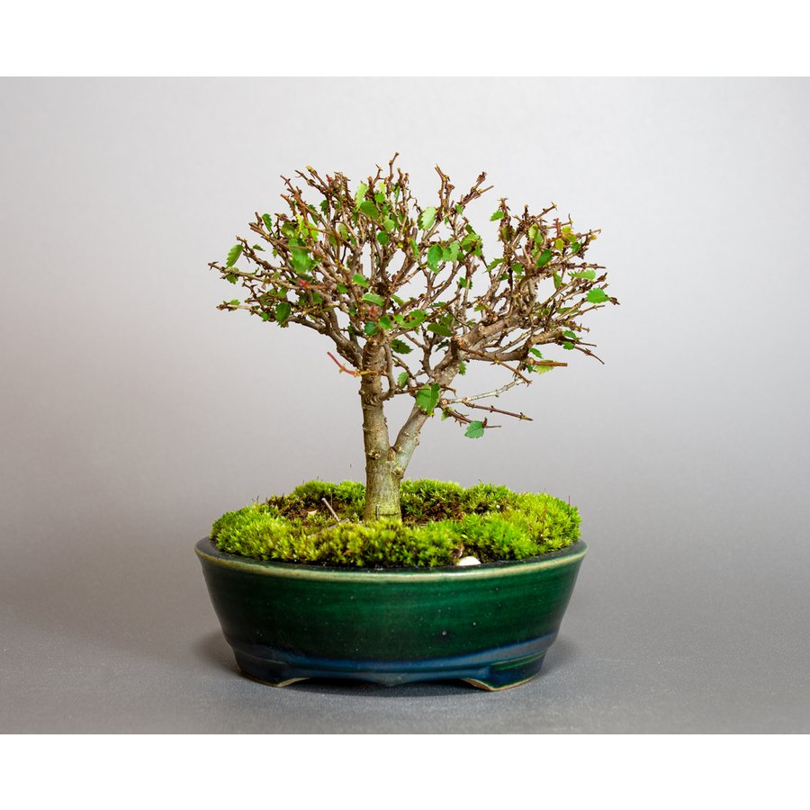 盆栽 ケヤキ盆栽 欅(けやき・ミニ盆栽 箒立ち欅)小品盆栽 4095|e-bonsai|02