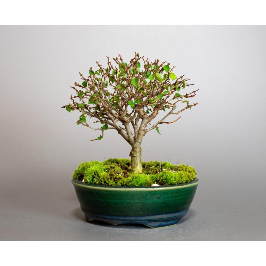 盆栽 ケヤキ盆栽 欅(けやき・ミニ盆栽 箒立ち欅)小品盆栽 4095|e-bonsai|03