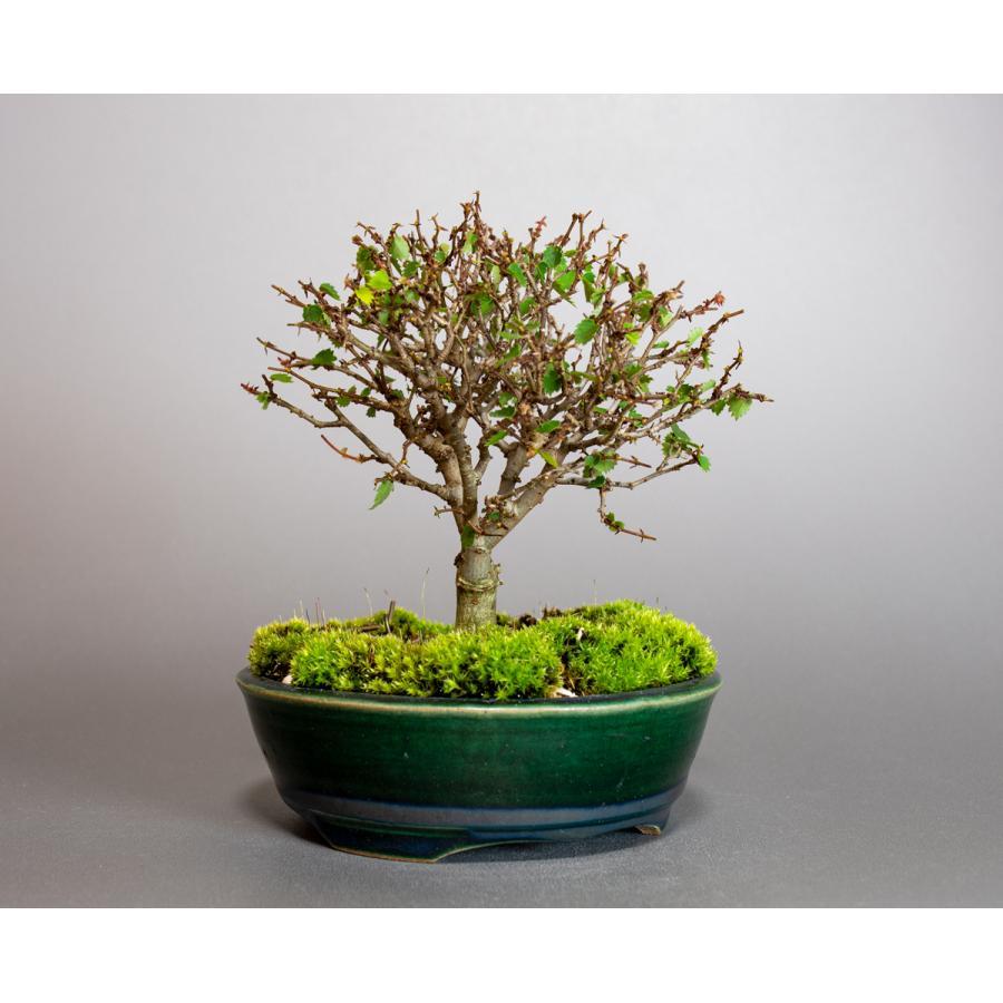 盆栽 ケヤキ盆栽 欅(けやき・ミニ盆栽 箒立ち欅)小品盆栽 4095|e-bonsai|04