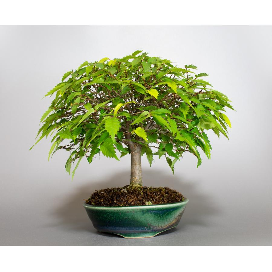 盆栽 ケヤキ盆栽 欅(けやき・ミニ盆栽 箒立ち欅)小品盆栽 4099 e-bonsai