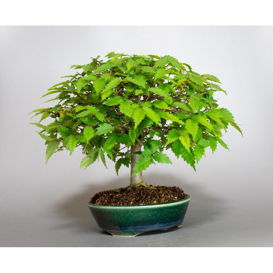 盆栽 ケヤキ盆栽 欅(けやき・ミニ盆栽 箒立ち欅)小品盆栽 4099 e-bonsai 04