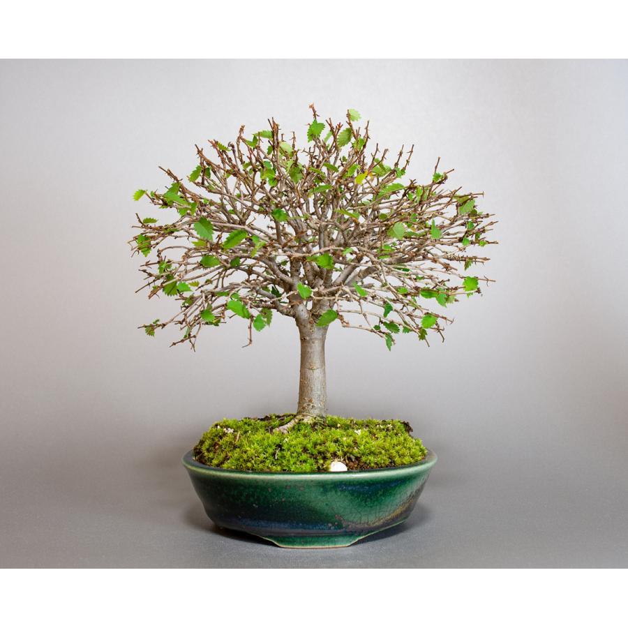 盆栽 ケヤキ盆栽 欅(けやき・ミニ盆栽 箒立ち欅)小品盆栽 4099 e-bonsai 05