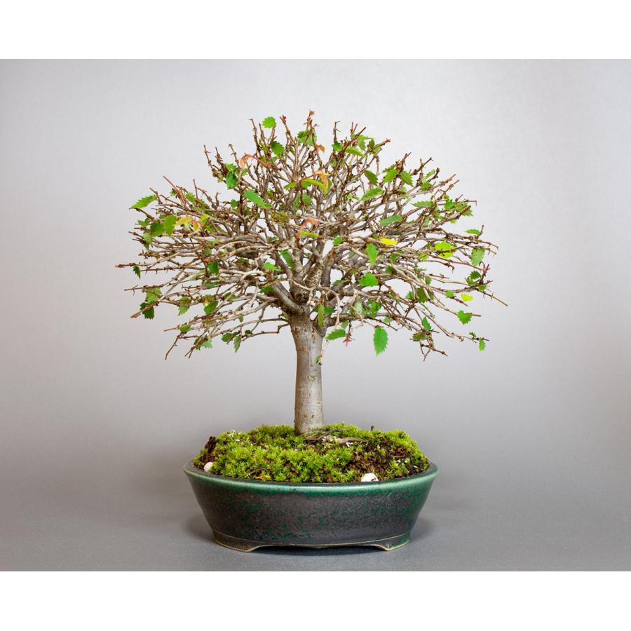 盆栽 ケヤキ盆栽 欅(けやき・ミニ盆栽 箒立ち欅)小品盆栽 4099 e-bonsai 06