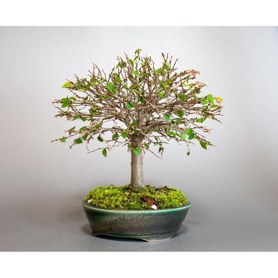 盆栽 ケヤキ盆栽 欅(けやき・ミニ盆栽 箒立ち欅)小品盆栽 4099 e-bonsai 07