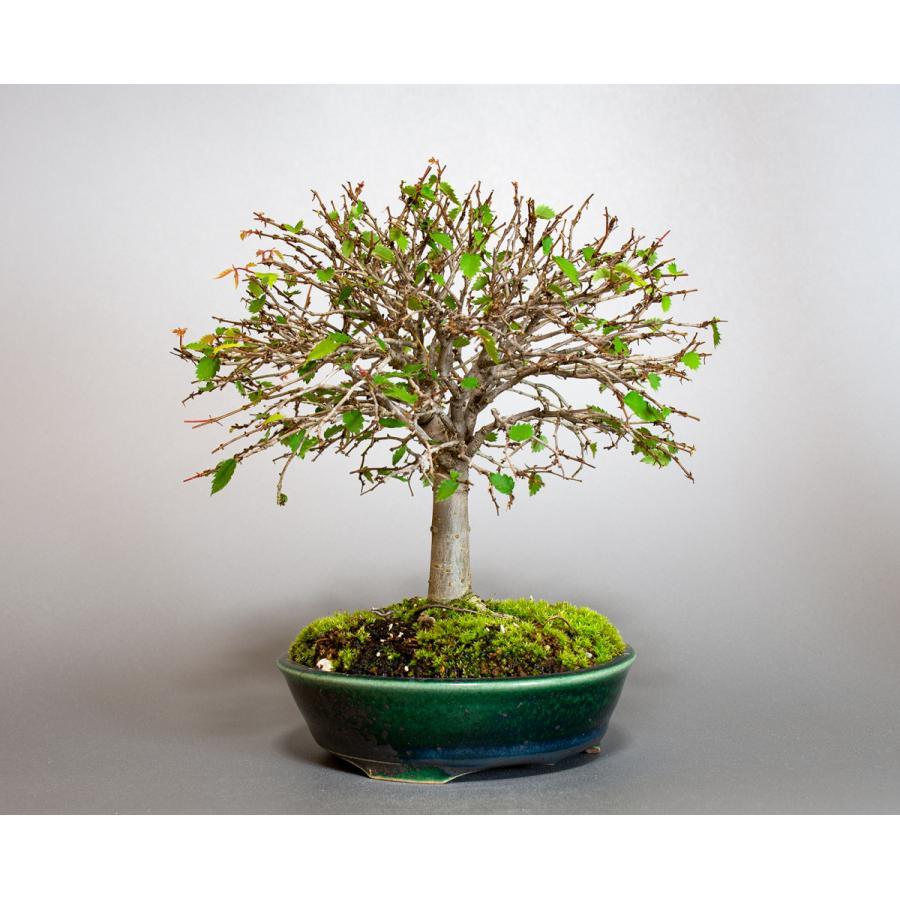 盆栽 ケヤキ盆栽 欅(けやき・ミニ盆栽 箒立ち欅)小品盆栽 4099 e-bonsai 08