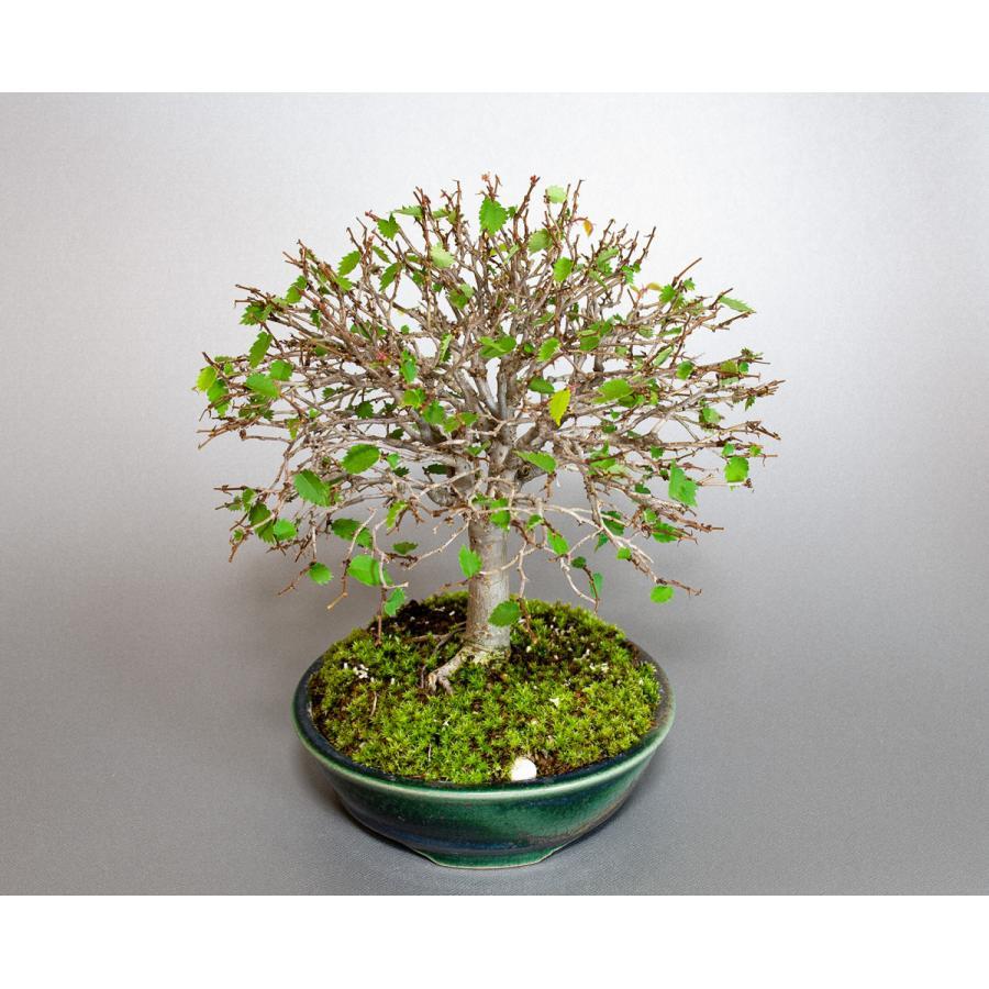 盆栽 ケヤキ盆栽 欅(けやき・ミニ盆栽 箒立ち欅)小品盆栽 4099 e-bonsai 09