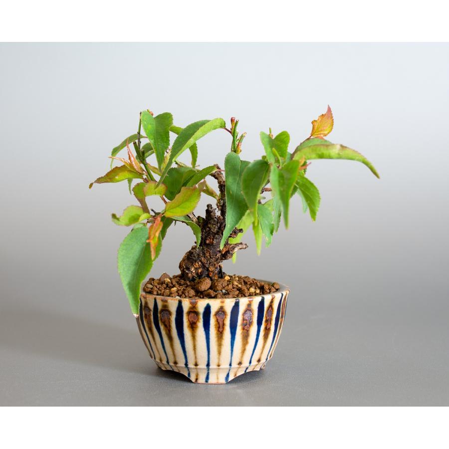盆栽 コウシュウヤバイ盆栽(こうしゅうやばい・甲州野梅 盆栽)ミニ盆栽 小品盆栽 4163 e-bonsai