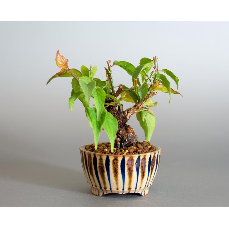 盆栽 コウシュウヤバイ盆栽(こうしゅうやばい・甲州野梅 盆栽)ミニ盆栽 小品盆栽 4163 e-bonsai 02