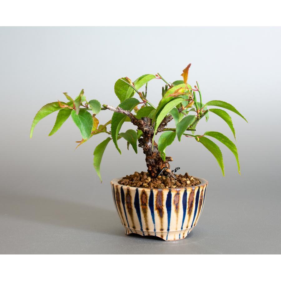 盆栽 コウシュウヤバイ盆栽(こうしゅうやばい・甲州野梅 盆栽)ミニ盆栽 小品盆栽 4163 e-bonsai 03