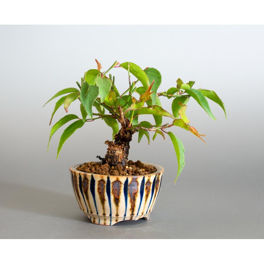 盆栽 コウシュウヤバイ盆栽(こうしゅうやばい・甲州野梅 盆栽)ミニ盆栽 小品盆栽 4163 e-bonsai 04