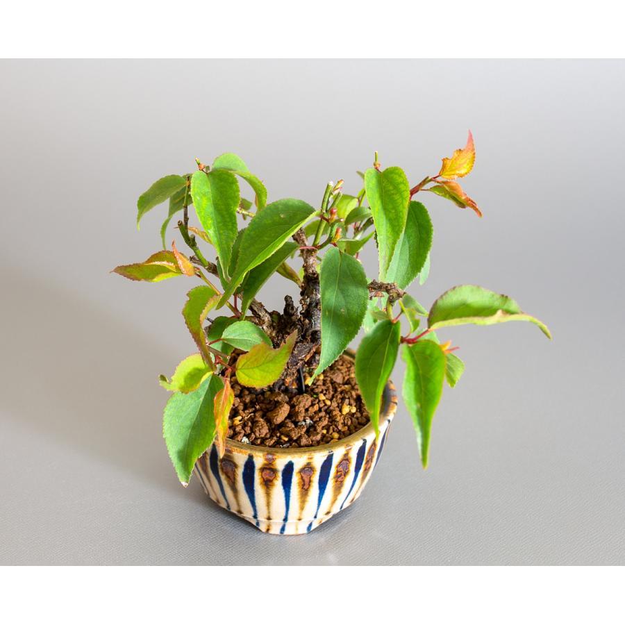 盆栽 コウシュウヤバイ盆栽(こうしゅうやばい・甲州野梅 盆栽)ミニ盆栽 小品盆栽 4163 e-bonsai 05