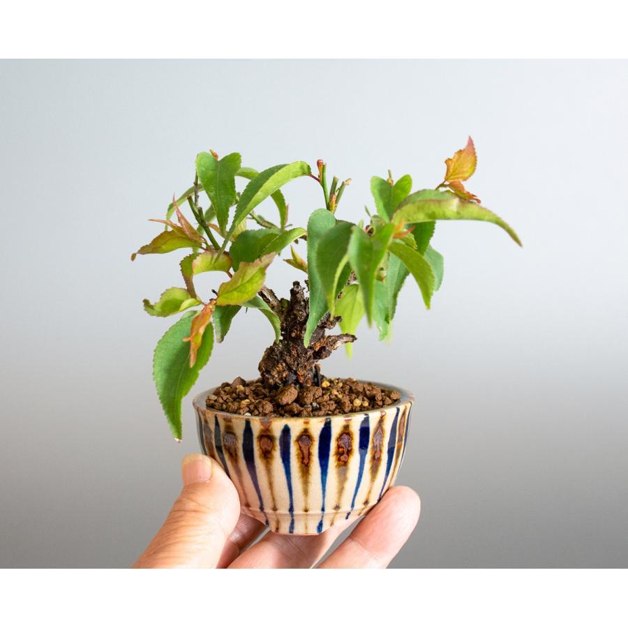 盆栽 コウシュウヤバイ盆栽(こうしゅうやばい・甲州野梅 盆栽)ミニ盆栽 小品盆栽 4163 e-bonsai 06