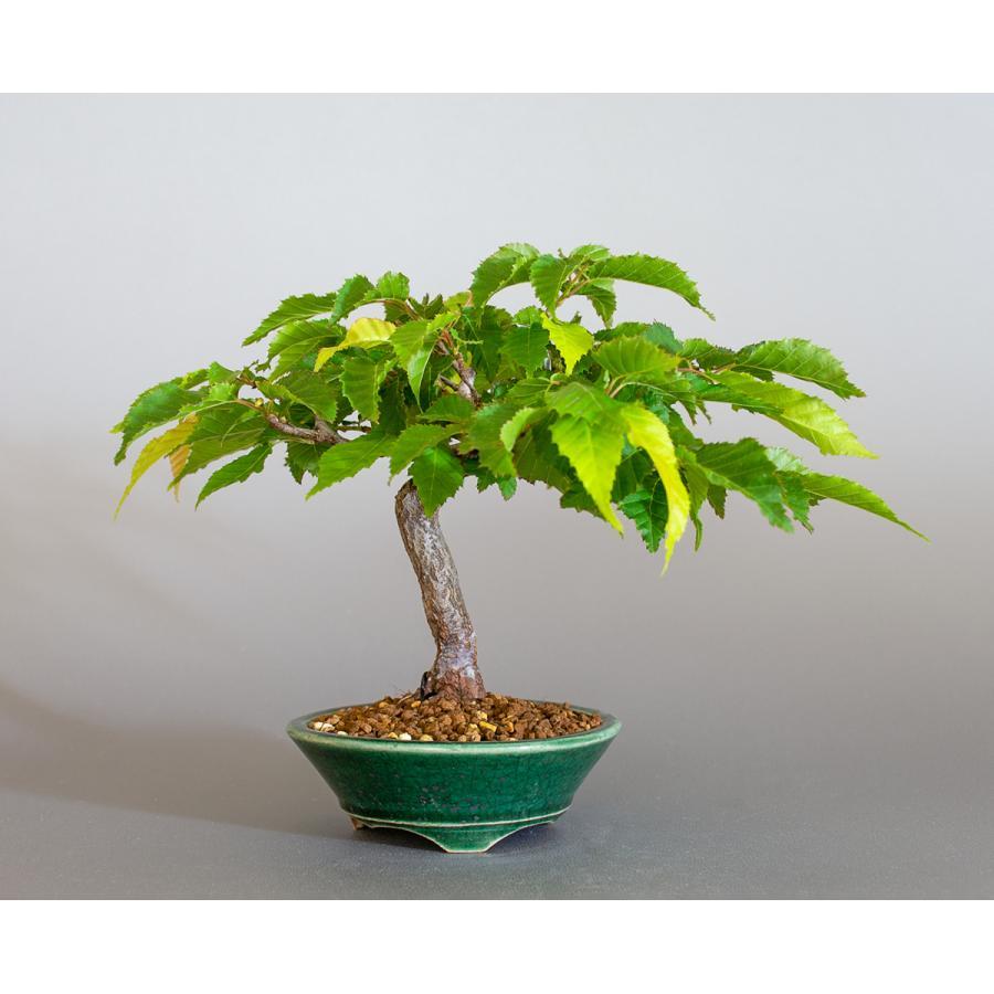 盆栽 アカシデ盆栽 赤四手(あかしで・ミニ盆栽)小さな盆栽 4168|e-bonsai