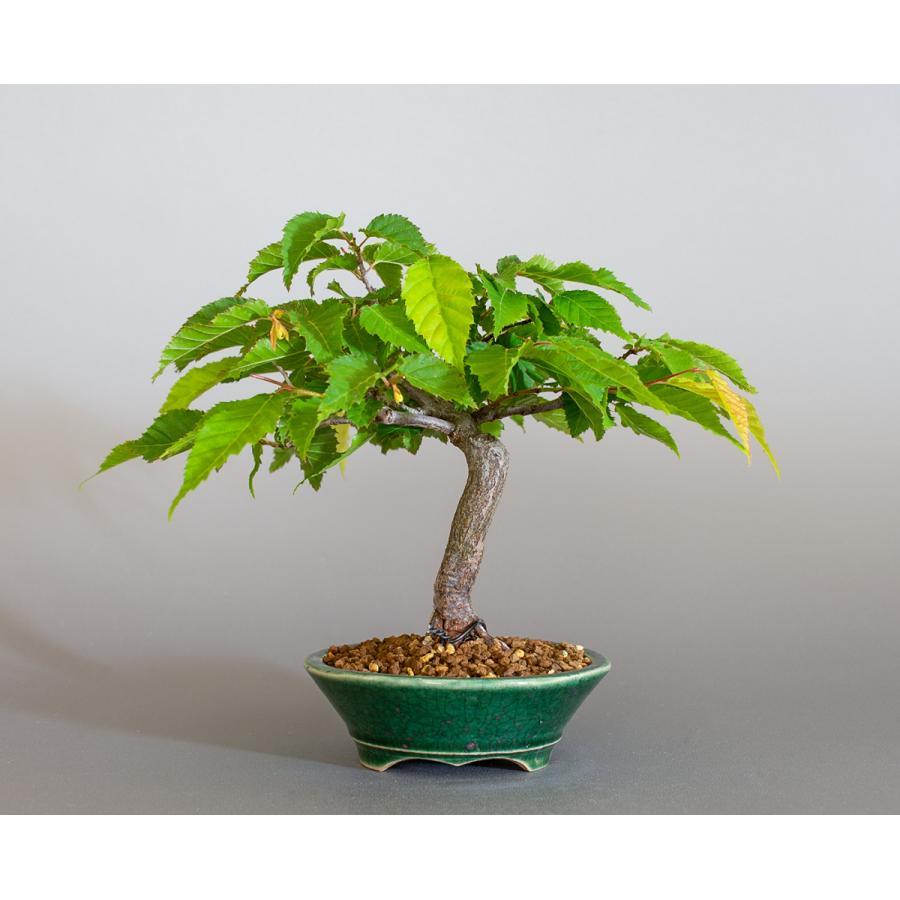 盆栽 アカシデ盆栽 赤四手(あかしで・ミニ盆栽)小さな盆栽 4168|e-bonsai|02