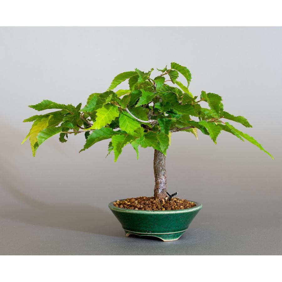 盆栽 アカシデ盆栽 赤四手(あかしで・ミニ盆栽)小さな盆栽 4168|e-bonsai|03