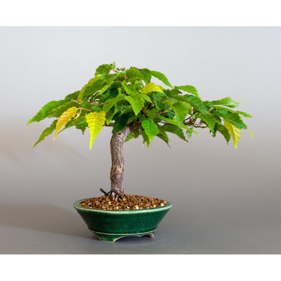 盆栽 アカシデ盆栽 赤四手(あかしで・ミニ盆栽)小さな盆栽 4168|e-bonsai|04