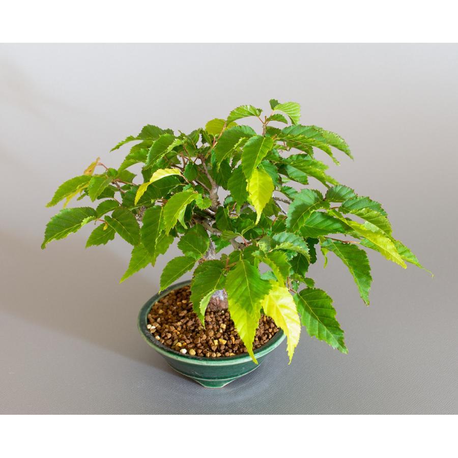 盆栽 アカシデ盆栽 赤四手(あかしで・ミニ盆栽)小さな盆栽 4168|e-bonsai|05