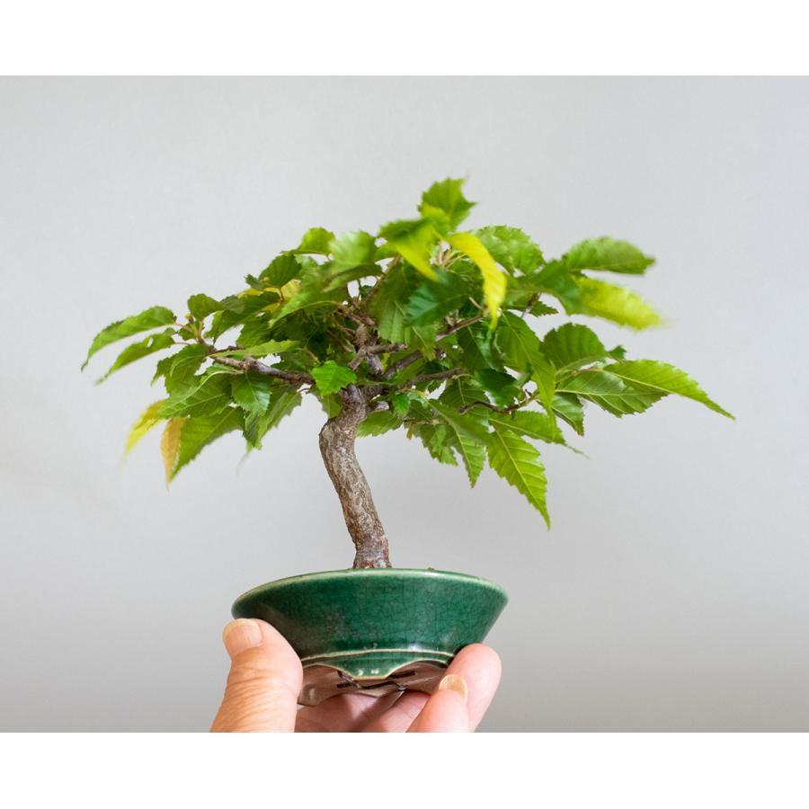 盆栽 アカシデ盆栽 赤四手(あかしで・ミニ盆栽)小さな盆栽 4168|e-bonsai|06