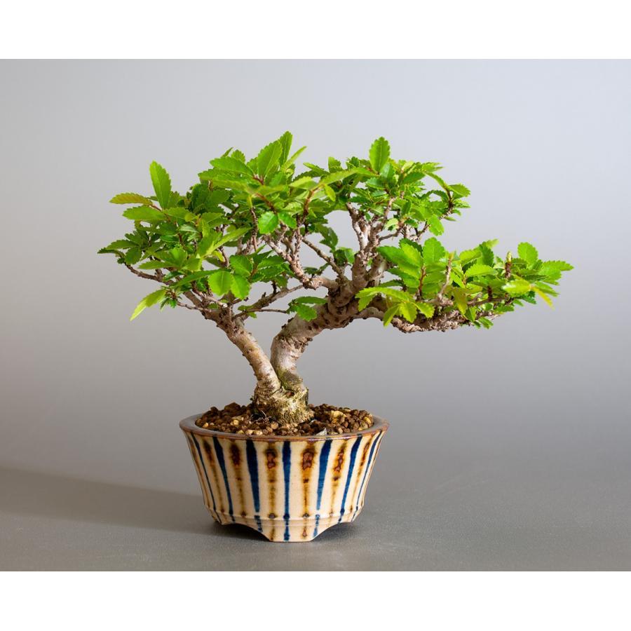 盆栽 ニレケヤキ盆栽(にれけやき・ミニ 楡欅盆栽)小品盆栽 4175 e-bonsai