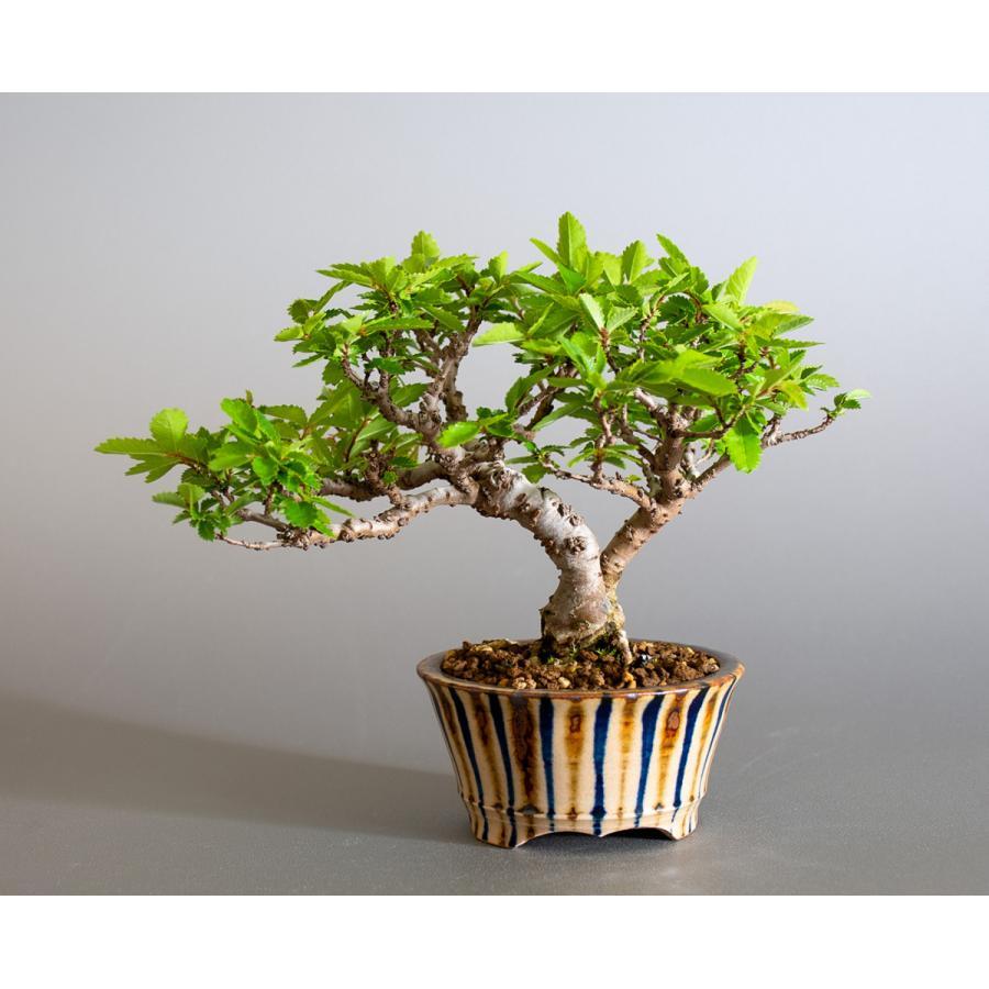 盆栽 ニレケヤキ盆栽(にれけやき・ミニ 楡欅盆栽)小品盆栽 4175 e-bonsai 02