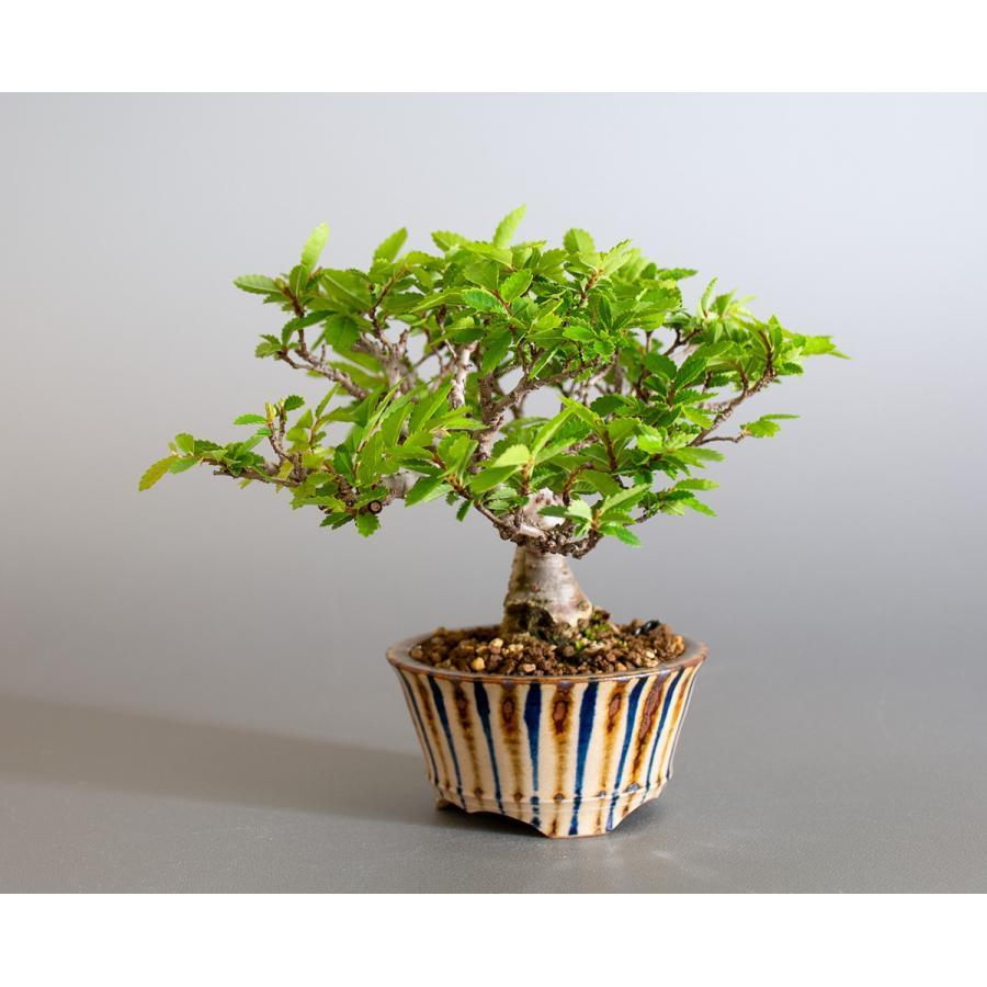 盆栽 ニレケヤキ盆栽(にれけやき・ミニ 楡欅盆栽)小品盆栽 4175 e-bonsai 03