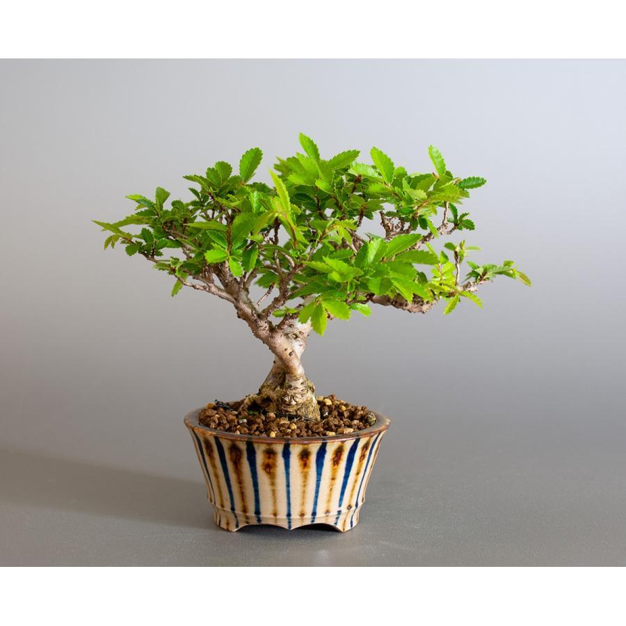 盆栽 ニレケヤキ盆栽(にれけやき・ミニ 楡欅盆栽)小品盆栽 4175 e-bonsai 04