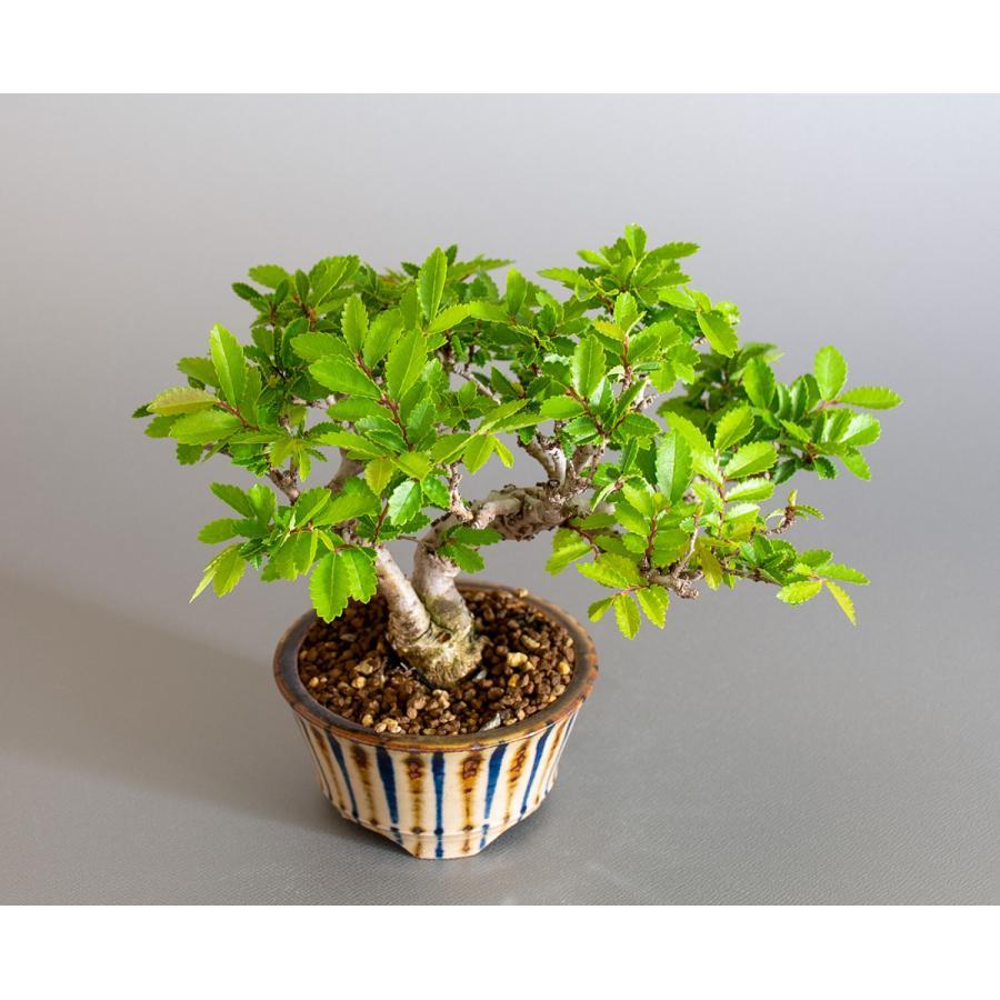 盆栽 ニレケヤキ盆栽(にれけやき・ミニ 楡欅盆栽)小品盆栽 4175 e-bonsai 05