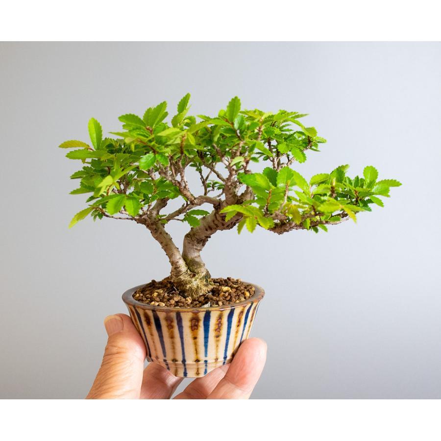 盆栽 ニレケヤキ盆栽(にれけやき・ミニ 楡欅盆栽)小品盆栽 4175 e-bonsai 06