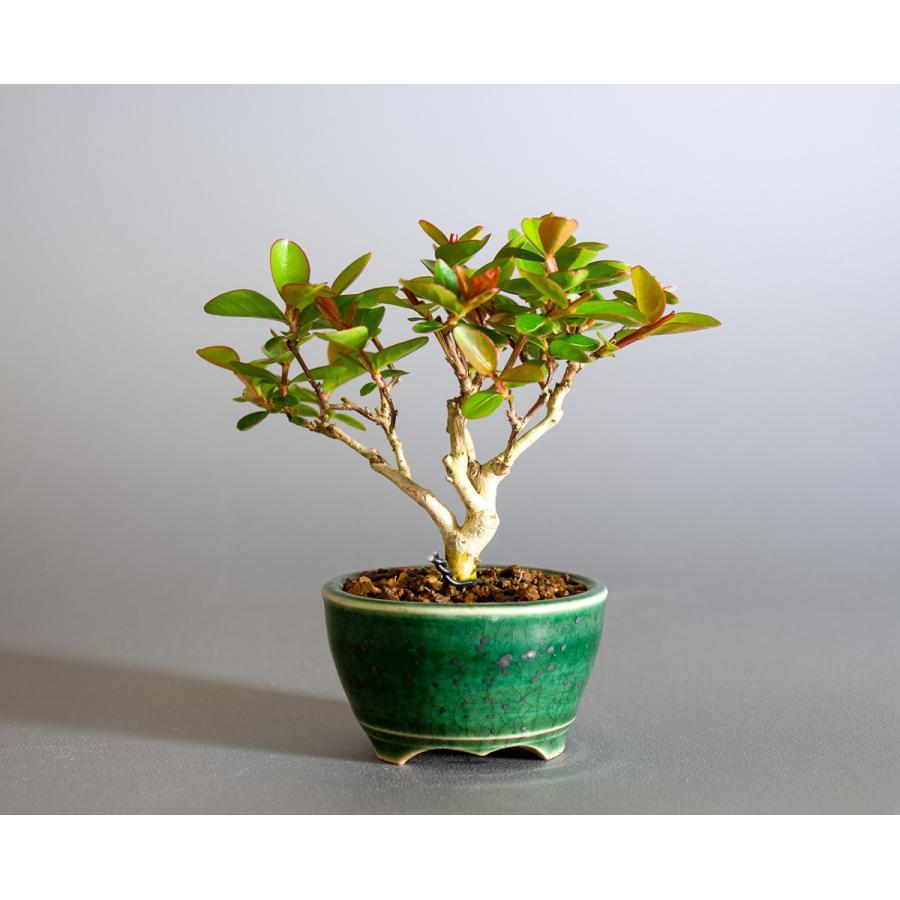 ミニ盆栽 サルスベリ盆栽 百日紅(さるすべり・小さな盆栽 百日紅)小盆栽 4176|e-bonsai|02