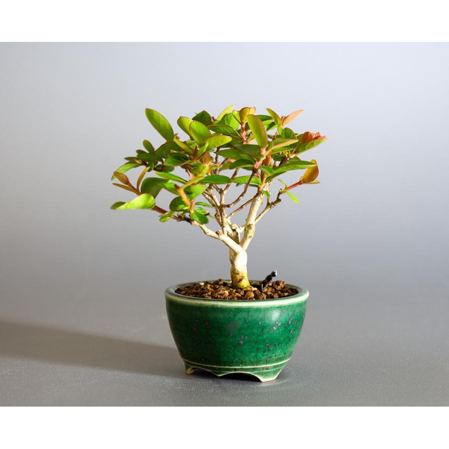 ミニ盆栽 サルスベリ盆栽 百日紅(さるすべり・小さな盆栽 百日紅)小盆栽 4176|e-bonsai|03