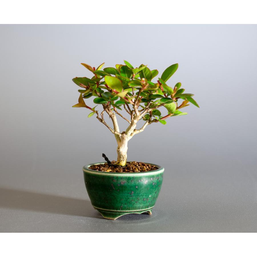 ミニ盆栽 サルスベリ盆栽 百日紅(さるすべり・小さな盆栽 百日紅)小盆栽 4176|e-bonsai|04