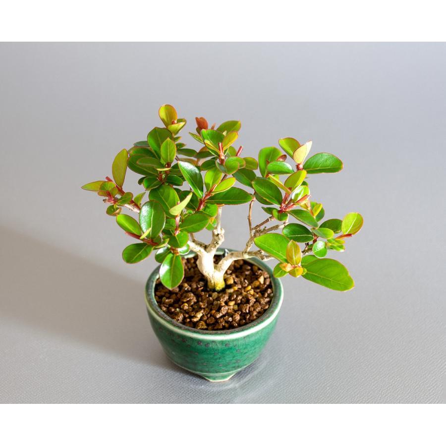 ミニ盆栽 サルスベリ盆栽 百日紅(さるすべり・小さな盆栽 百日紅)小盆栽 4176|e-bonsai|05