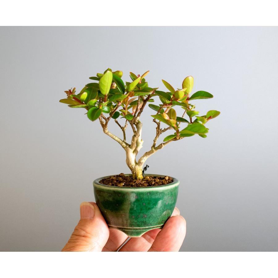 ミニ盆栽 サルスベリ盆栽 百日紅(さるすべり・小さな盆栽 百日紅)小盆栽 4176|e-bonsai|06