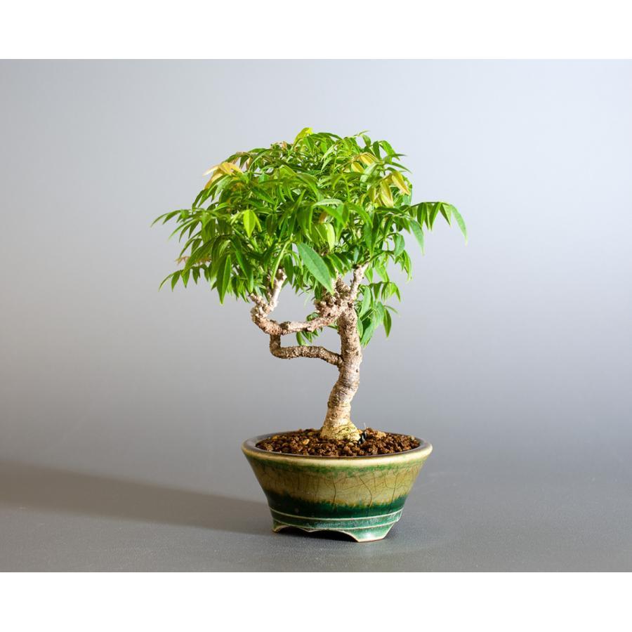 盆栽 コフジ盆栽(こふじ・ミニ 小藤盆栽)小品盆栽 4177|e-bonsai|03